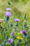 stock image of  common thistle, short lived thistle plant with spine tipped winged stems and leaves,