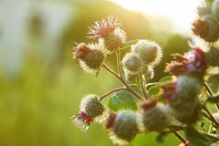 stock image of  cirsium vulgare, spear thistle, bull thistle, common thistle, short lived thistle plant