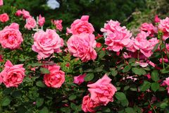 stock image of  china rose in garden