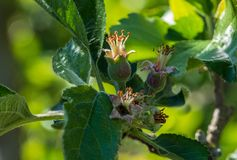 stock image of  close-up of small apples growing on apple tree reineta variety fruit tree.