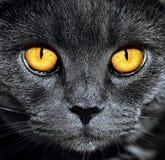 stock image of  closeup of beautiful luxury gorgeous grey british cat with vibrant eyes. dark background. selective focus. dramatic.