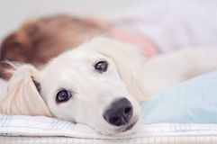 stock image of  a closeup of a relaxed dog, little cute white saluki puppy persian greyhound together with a young girl who owns the pet. a