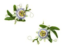 stock image of  passion flower on white.