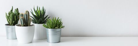 stock image of  collection of various cactus and succulent plants in different pots. potted cactus house plants on white shelf.