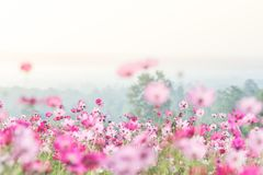 stock image of  pink cosmos flowers field