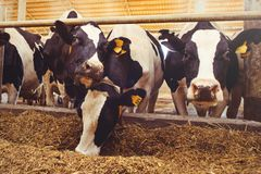 stock image of  cow farm concept of agriculture, agriculture and livestock - a herd of cows who use hay in a barn on a dairy farm