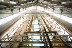 stock image of  cow farm milking system