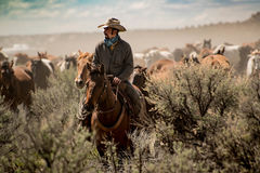stock image of  cowboy leading horse herd through dust and sage brush during roundup