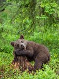 stock image of  cub of brown bear in the summer forest. natural habitat. scientific name: ursus arctos