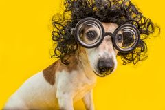 stock image of  curious nerd smart dog face in round professor glasses and curly black afro style hairstyle. education. yellow