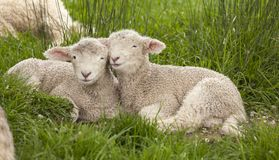 stock image of  cute cuddly fuzzy baby animals spring lambs sheep siblings snuggling up together in green grass. they look like they are smiling.