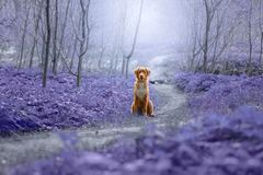 stock image of  cute dog playing in the woods. nova scotia duck tolling retrieve