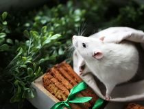 stock image of  cute little fancy pet mouse with festive baked cookies and satin ribbon bow in front of green grass and leaves backgroung with cop