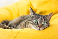 stock image of  cute tabby cat with green eyes lies on yellow bean bag.