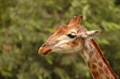 stock image of  cute young wild giraffe close up portrait. sad giraffe. africa wild life safari. world famous wild animals giraffes. wild giraffe