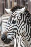 stock image of  zebra head