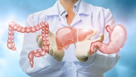 stock image of  doctor shows organs the digestive system .