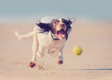 stock image of  dog running after ball