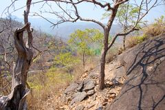 stock image of  dry tree on cliff or mountain with blue sky at op luang national park, hot, chiang mai, thailand. hot weather and arid.