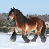 stock image of  dutch draught horse with long mane running in snow