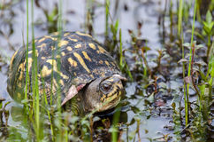 stock image of  eastern boxturtle