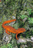 stock image of  eastern newt