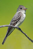 stock image of  eastern wood-pewee