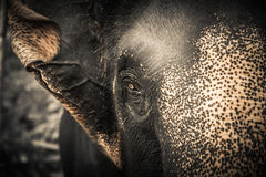 stock image of  elephant looking at camera with compassion