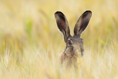 stock image of  european brown hare on agricultural field in summer