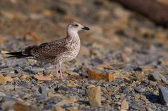 stock image of  european herring gull walks along a stony beach in search of prey (in a natural habitat).