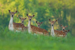 stock image of  fallow deer family - doe and fawn babies