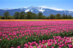 stock image of  field of tulips