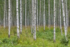 stock image of  finnish landscape with birch forest. finland nature wilderness