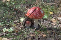 stock image of  fly agaric, easily recognizable mushroom on the sunny glade, among the leaves of wild strawberry. picturesque couple with spotted