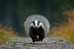 stock image of  flying mammal. badger in forest, animal nature habitat, germany, europe. wildlife scene. wild badger, meles meles, wood road. euro