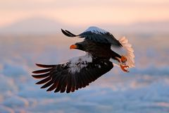 stock image of  flying rare eagle. stellerl`s sea eagle, haliaeetus pelagicus, flying bird of prey, with blue sky in background, hokkaido, japan.