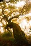 stock image of  forest foggy day, red oak tree, secular woods, nature, planetarium