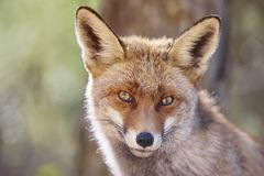 stock image of  fox head with geen background. wildlife in the forest