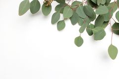 stock image of  frame, border made of green silver dollar eucalyptus cinerea leaves and branches on white background. floral composition