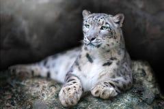 stock image of  snow leopard portrait
