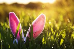 stock image of  funny easter scene with a pair of pink bunny ears sticking out of the lush green grass drenched in the sunny warm spring sun
