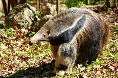 stock image of  giant anteater