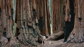stock image of  giant sequoias at sequoia national park