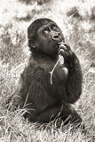 stock image of  gorilla baby (sepia)