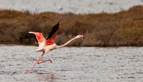 stock image of  a greater flamingoes effort