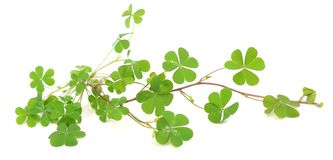 stock image of  green clover leaf on white.