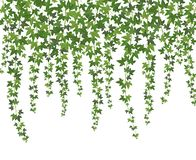 stock image of  green ivy. creeper wall climbing plant hanging from above. garden decoration ivy vines background