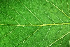 stock image of  green leaf fresh detailed rugged surface structure extreme macro closeup photo with midrib, leaf veins and grooves