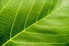 stock image of  green leaf macro