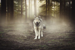 stock image of  grey wolf portrait - captive animal magical forest dawn